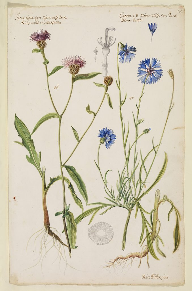 Waller's watercolours, MS/131/34 © The Royal Society